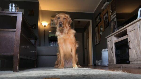 Dog Dilemma: Sly Golden Retriever Grabs Biscuit While Owner's Away  - Sputnik International