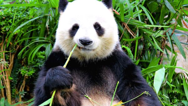 Canadian Zoo Sends Pandas Home to China After Pandemic Frustrates Bamboo Imports - Sputnik International