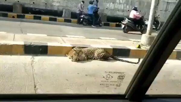 A leopard was seen resting at Katedan underbridge at Mailardevpally, Rajendranagar in Hyderabad - Sputnik International