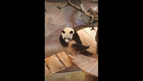 Panda Shakes It to Scratch that Itch   - Sputnik International