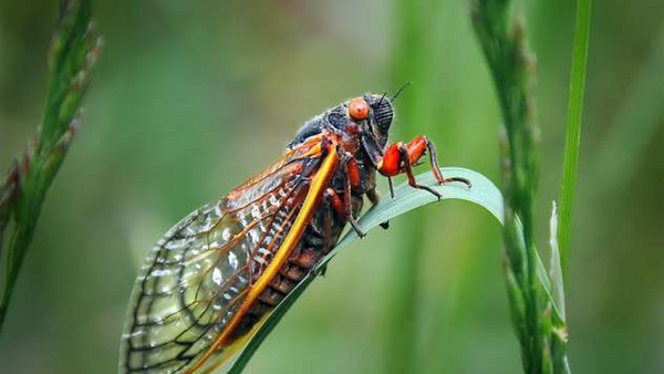 Periodical cicadas can appear in 17 or 13-year intervals This year's emergence is expected across northwestern North Carolina, Virginia, and  West Virginia. - Sputnik International
