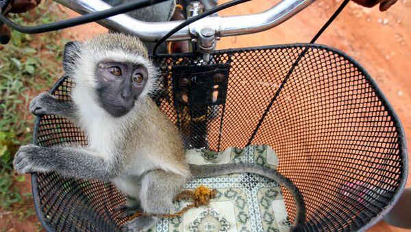 A baby vervet monkey (Cercopithecus aethiops) is seen in a bicycle basket in Zanzibar's island village of Kidichi November 3, 2005.  - Sputnik International