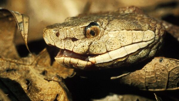 Copperhead snake - Sputnik International