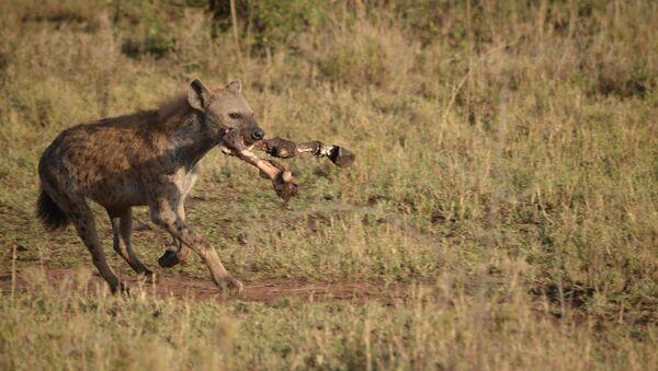 Hyena  - Sputnik International