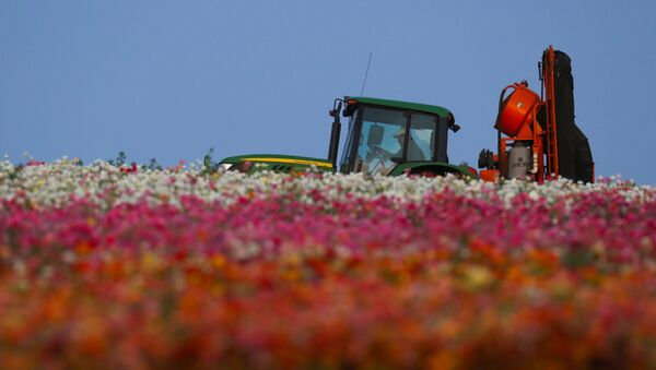 An agricultural worker navigates his equipment through the closed and empty flower fields of Carlsbad during the outbreak of the coronavirus disease (COVID-19) in Carlsbad, California, US, May 7, 2020 - Sputnik International