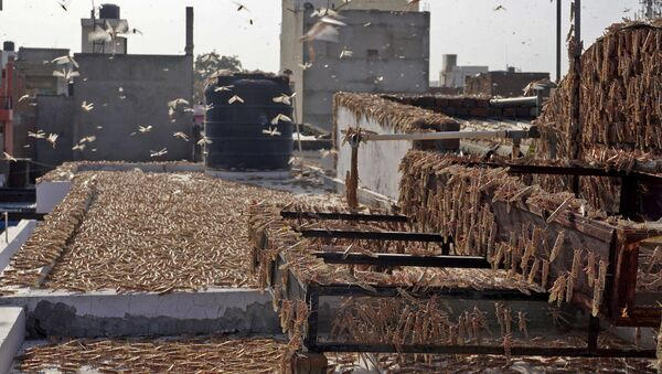 In this photograph taken on May 25, 2020 swarms of locusts are seen atop a residential building in Jaipur in the Indian state of Rajasthan - Sputnik International