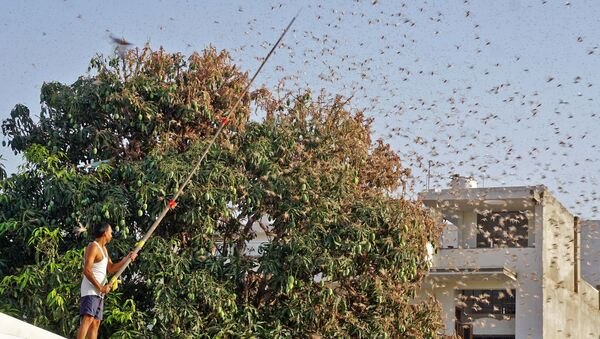 In this photograph taken on May 25, 2020 a resident tries to fend off swarms of locusts from a mango tree in a residential area of Jaipur in the Indian state of Rajasthan - Sputnik International
