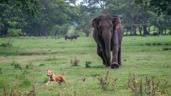 Indian elephant - Sputnik International
