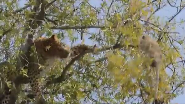 Rarely seen,  leopard trying to shake the monkey from tree for food. Monkey holds on - Sputnik International