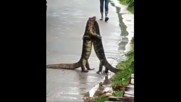 Video of two monitor lizards 'hugging' each other in India goes viral - Sputnik International