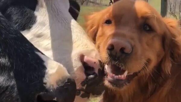 Cows Love Golden Retriever Friend  - Sputnik International