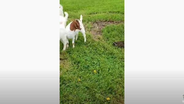 Yeehaw! Farm Raccoon Rounds Up Goats - Sputnik International