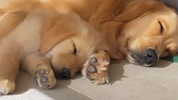 Golden Retriever Puppy Snuggles Up With Mom  - Sputnik International