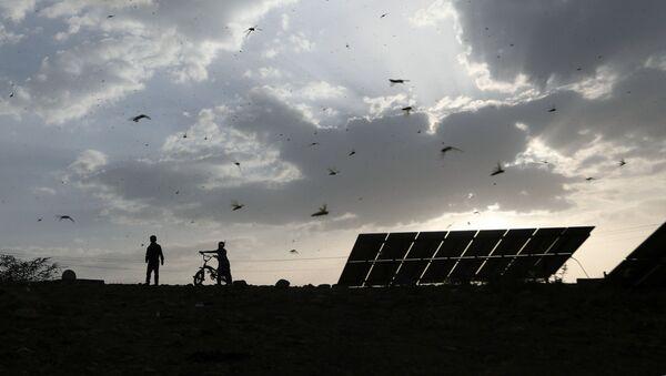 Boys chase locusts as a swarm of locusts attacks a village (File) - Sputnik International
