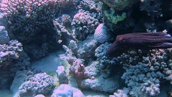 Octopus Hides Amongst Coral   - Sputnik International