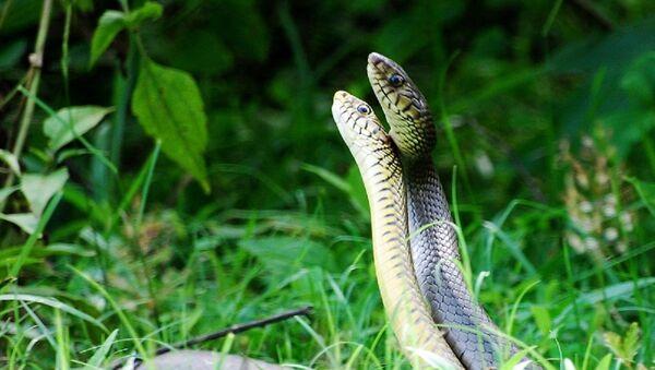 Snakes dance - Sputnik International