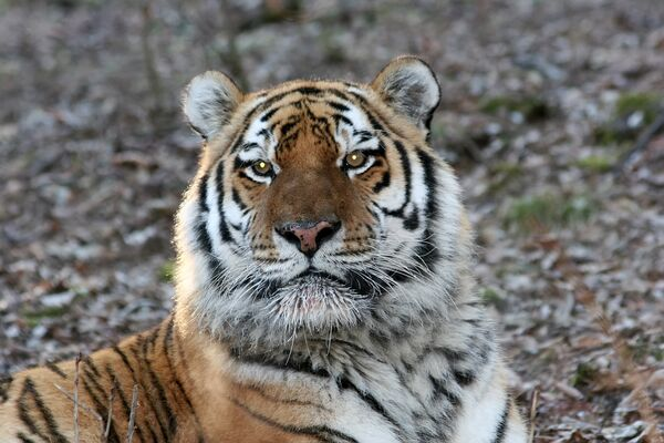 Russia, China to set up joint reserve to protect tigers - Sputnik International