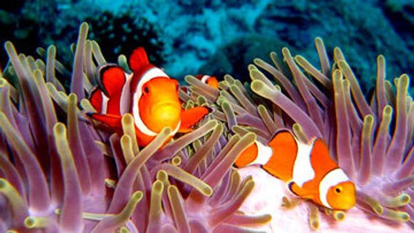 Рыбы-клоуны в индийском океане - Sputnik International