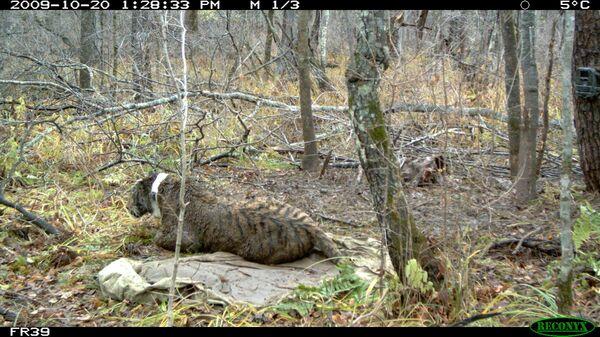Putin's lost female tiger found - Sputnik International
