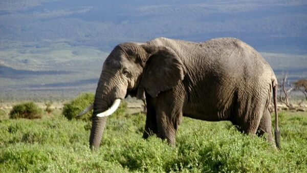 African forest elephant is in danger of extinction - Sputnik International