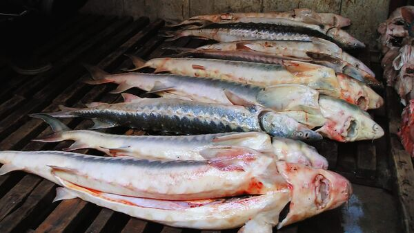 Russia Wants 5-Year Caspian Sturgeon Fishing Ban - Sputnik International