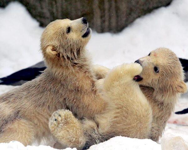 Polar bear cubs at Moscow's zoo take their first walk  - Sputnik International