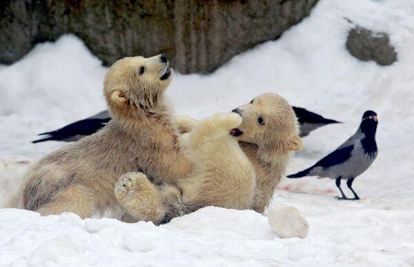 Polar bear cubs take their first steps - Sputnik International