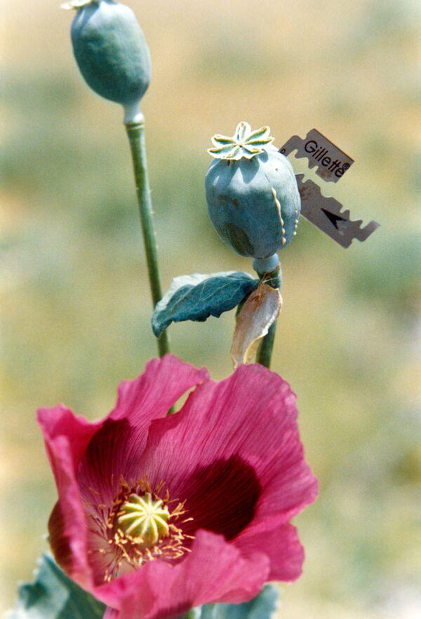 Russia and NATO divided over Afghan opium - Sputnik International