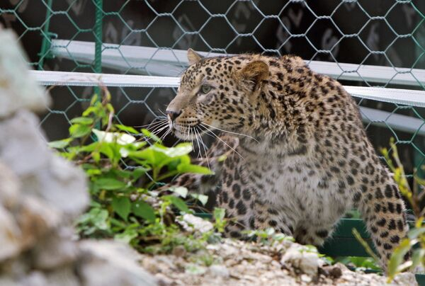 Iranian leopards make themselves at home in Russia's Sochi - Sputnik International