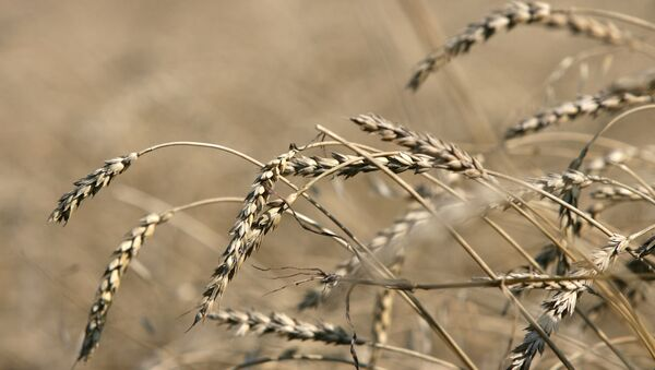 The Russian government said Thursday it will impose a duty on wheat exports in the amount of at least 35 euro per metric ton starting February 1, 2015. - Sputnik International