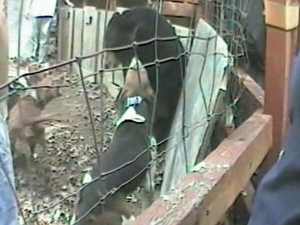 Humane Society releases video of bear baying - Sputnik International