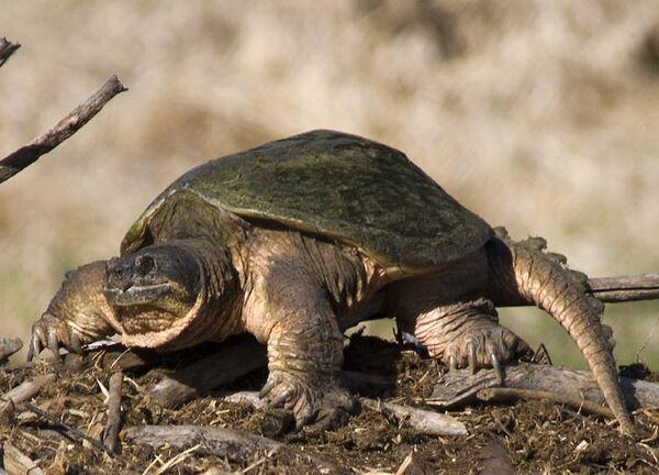 Common Snapping Turtle - Sputnik International