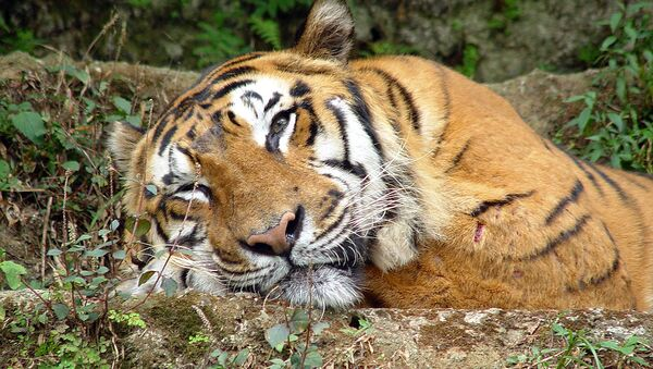 Тигр в Таман Сафари - Sputnik International