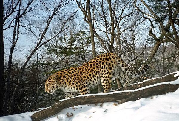 Amur leopard - Sputnik International