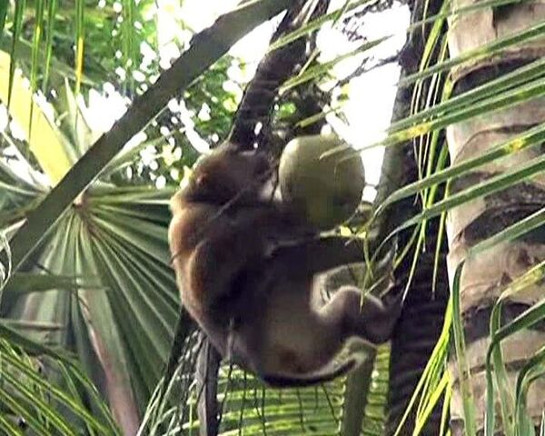 Trained monkeys help locals collect coconuts in southern Thailand - Sputnik International