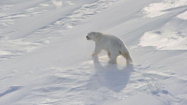 Polar bear on Frantz Josef Land Archipelago - Sputnik International
