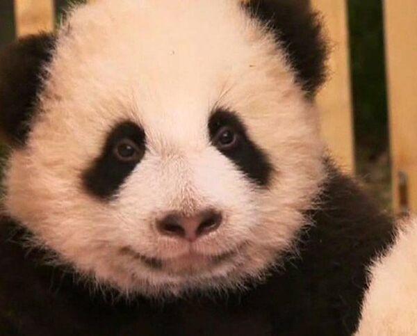 Successful breading of Giant pandas in China - Sputnik International