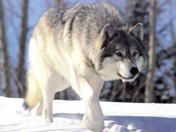 Siberian Region Sets Aside $1mln for Wolf Cull - Sputnik International