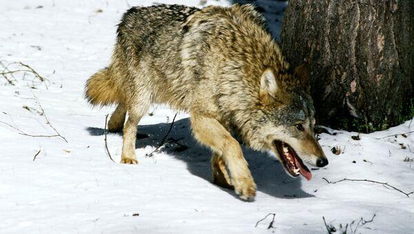 Heavy metal saves Norwegian boy from wolves - Sputnik International