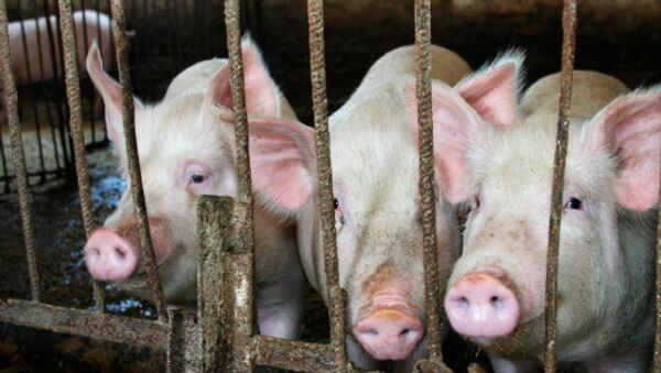 US Says Its Pigs Safe to Eat, Following Russian Trade Suspension - Sputnik International