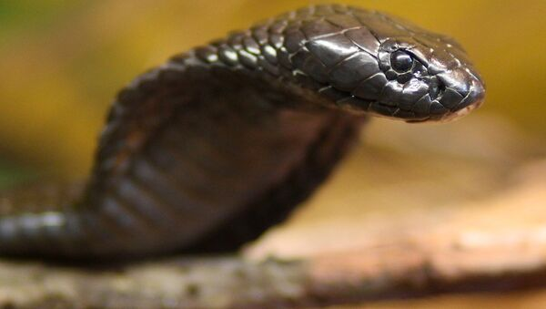 Egyptian cobra. Archive - Sputnik International