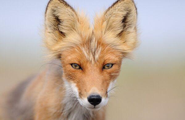 Fox cubs born in East Russian Nature Reserve - Sputnik International