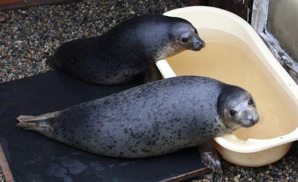 Couple nurses sick spotted seals in Primorye  - Sputnik International