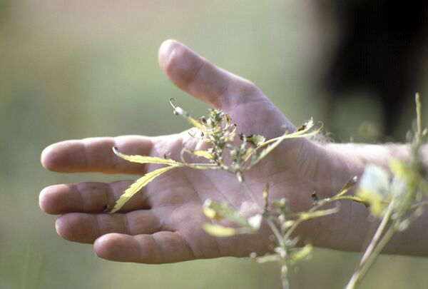 2 Million Wild Cannabis Plants Destroyed in Southern Russia - Sputnik International