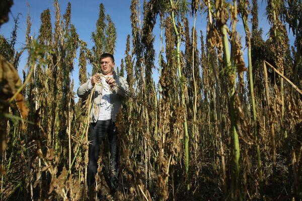 Non-narcotic hemp crop harvested in Siberia - Sputnik International