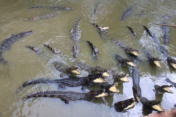 Crocodile farm in Thailand - Sputnik International