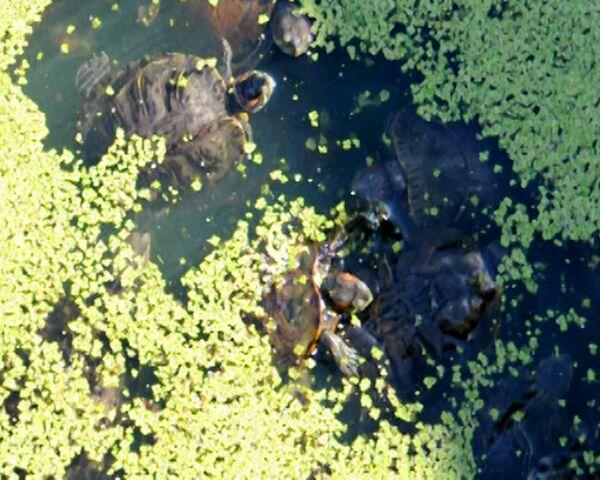 Turtles roam free in New York City's Central Park - Sputnik International