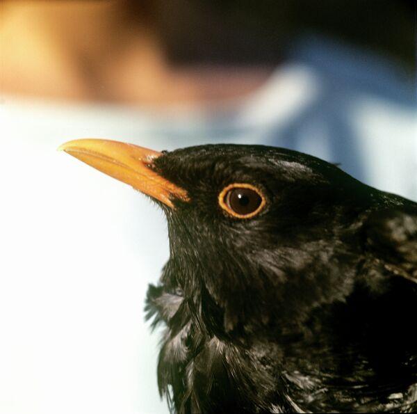 Mass death of blackbirds registered again in U.S. on New Year's Eve          - Sputnik International