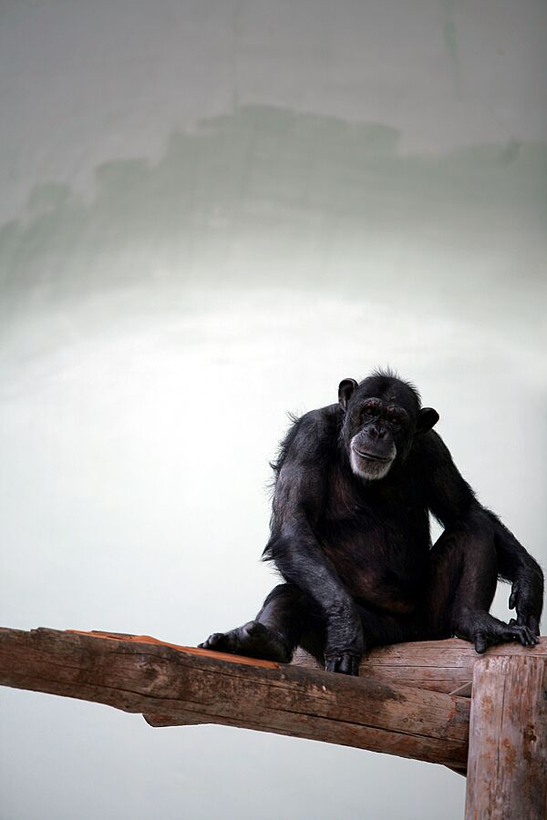 US Scientists Recommend Retiring Most Research Chimps - Sputnik International