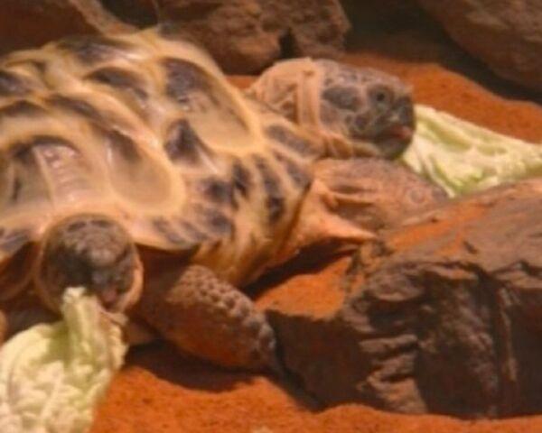 Two-headed turtle shown in Kiev - Sputnik International